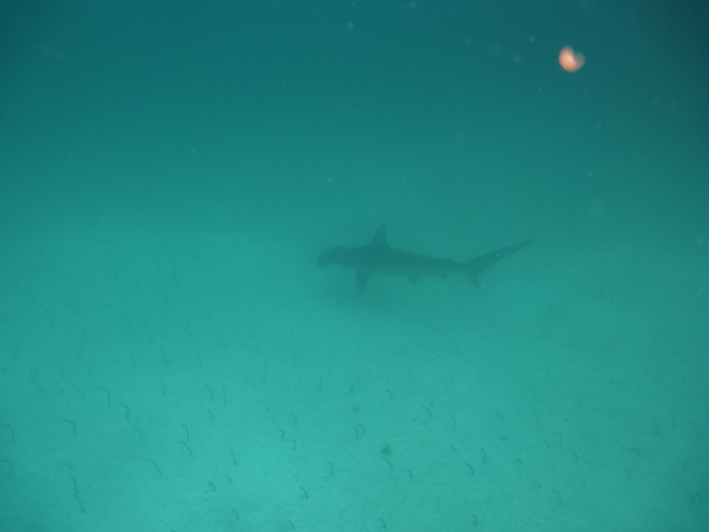 Hammerhead Shark In Galapagos Travel With Grant